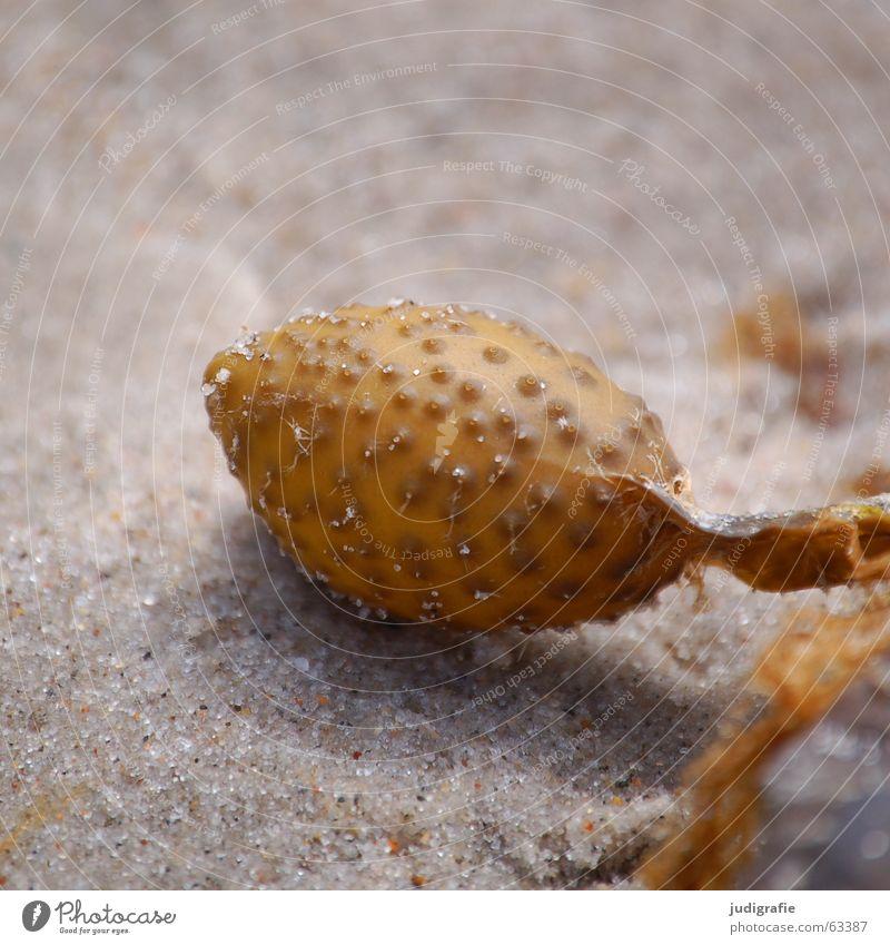 Am Strand Algen Noppe Meer See Darß Pflanze Luft gelb makroalge blasentang fucus vesiculosus Strukturen & Formen Ostsee Sand Blase Natur