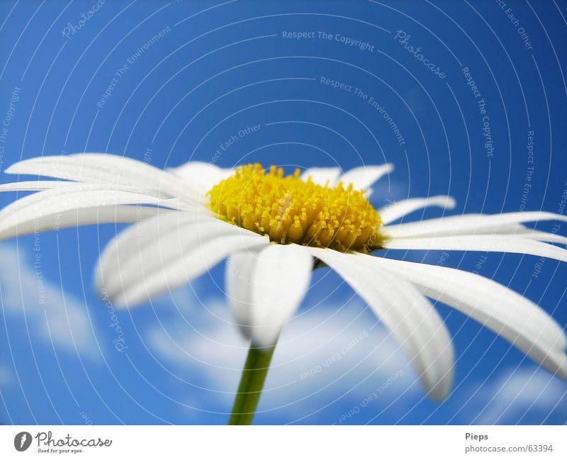 Margeritenblüte vor blauem Himmel Farbfoto Außenaufnahme Makroaufnahme Textfreiraum oben Hintergrund neutral Sommer Natur Pflanze Frühling Blume Blüte Blühend