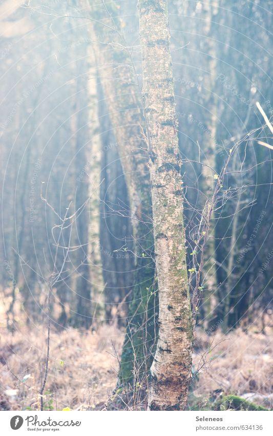Birgit Umwelt Natur Landschaft Pflanze Herbst Winter Baum Gras Sträucher Moos Wald natürlich Birke Farbfoto Außenaufnahme Menschenleer Tag Licht Schatten