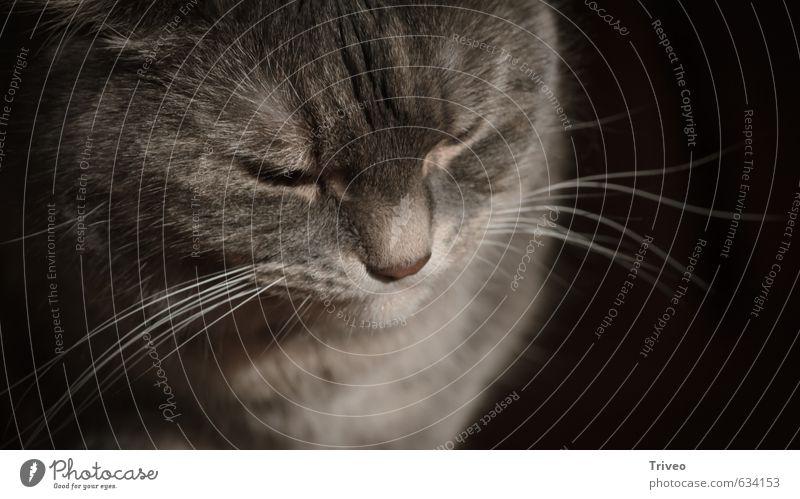 Zwergtiger Katze schön Tier Gefühle grau Kraft Zufriedenheit Warmherzigkeit Sauberkeit weich Fell Tiergesicht Haustier Geborgenheit klug Weisheit
