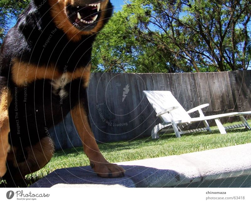 nicht stören Rottweiler dog chair glass three bite watchdog Gebiss wachhun teeth awakedog