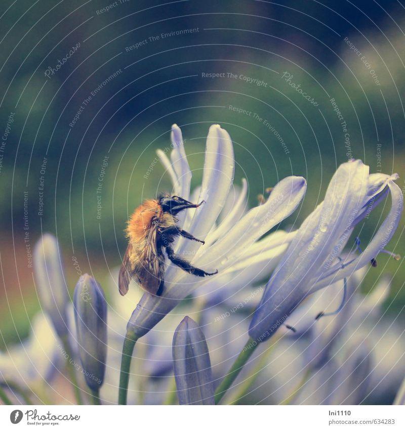 Schmucklilie mit Hummel Natur Pflanze Tier Wassertropfen Sommer Regen Blume Blüte Topfpflanze Agapanthus Garten Menschenleer Terrasse Nutztier Wildtier