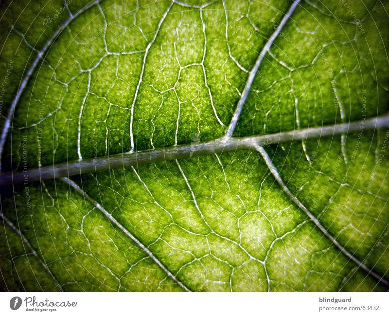 Lebenslinie Blatt grün Makroaufnahme Pflanze Gefäße Blattgrün Licht Wachstum Versorgung Ernährung Sonnenblume Photosynthese Strukturen & Formen flower