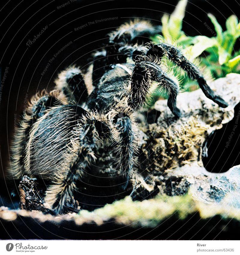 Spinne Haare & Frisuren Beine Netz Ekel 8 bissig Vogelspinne