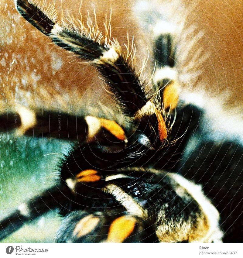 Spinne 2 Vogelspinne bissig 8 Netz Beine