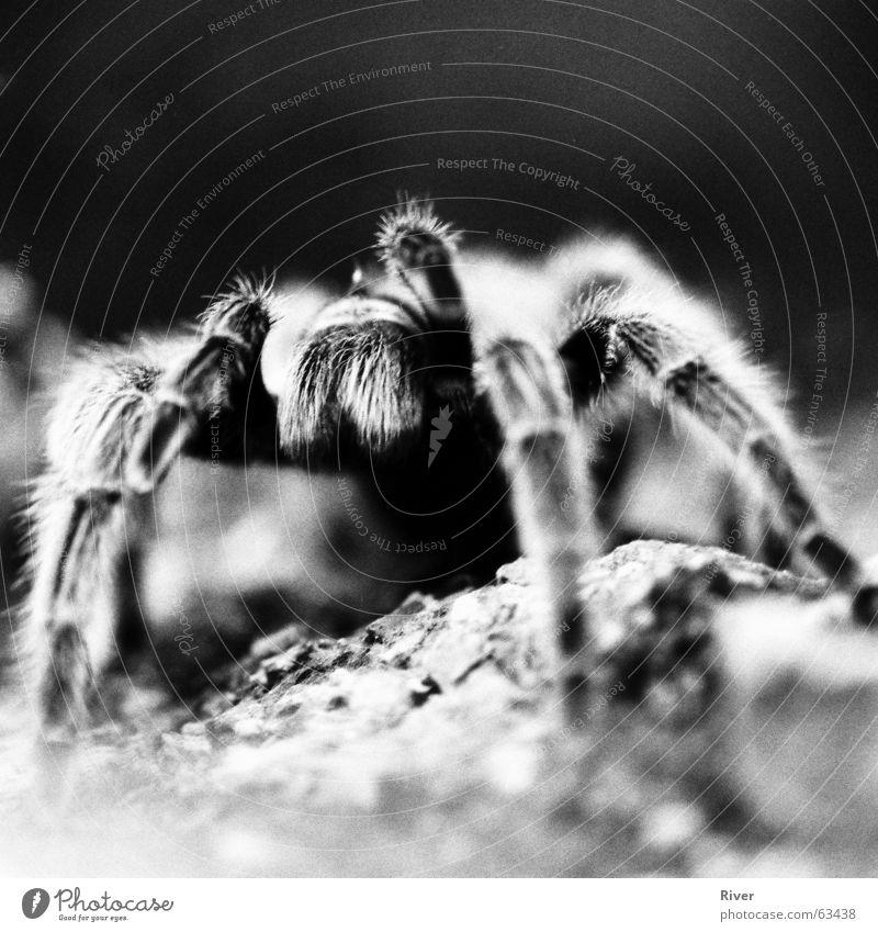 Spinne 3 Vogelspinne bissig 8 Schwarzweißfoto Beine Netz