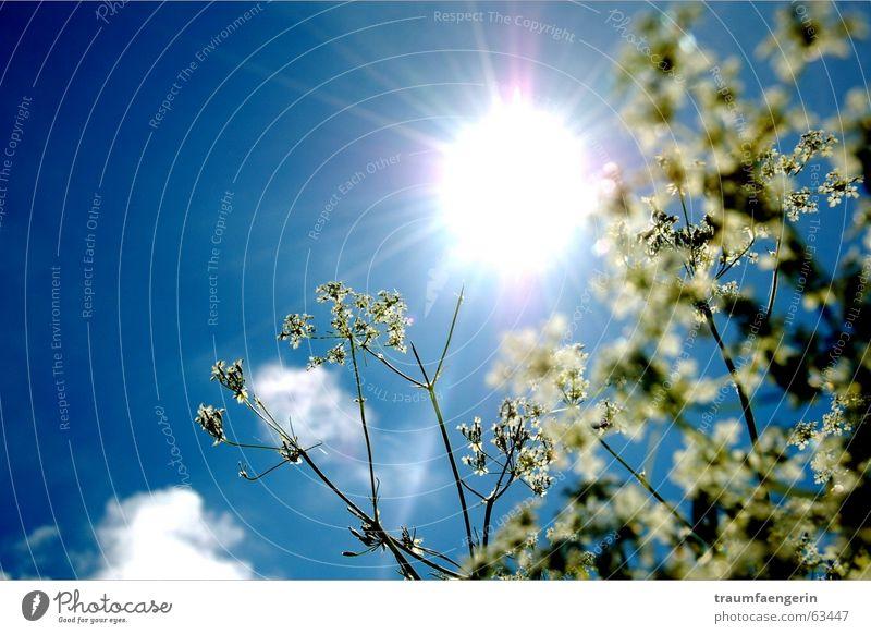 sonnenfreuden Blume grün weiß Wolken Licht blenden diagonal Freude Auvergne Frankreich Sonne Himmel Glück blau liegen leer alles
