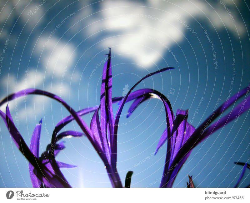 Ich such die Sonne ... Wolken Pflanze violett Blüte Sommer ästhetisch Wiesenflockenblume Korbblütengewächs Zierpflanze Makroaufnahme Nahaufnahme Himmel Schatten