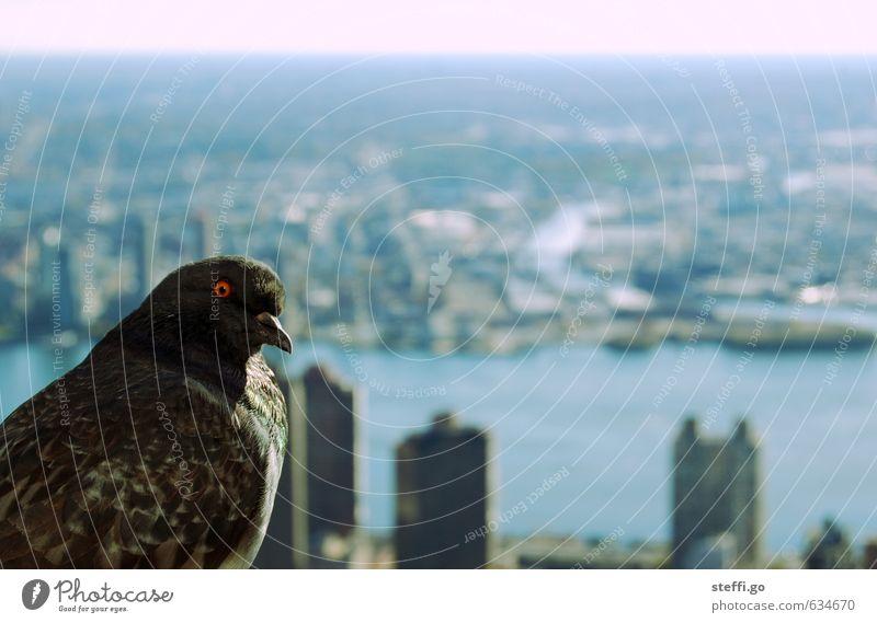 guter Ausblick Stadt Tier Vogel Hochhaus Wildtier Aussicht bedrohlich beobachten Neugier Höhenangst Stadtzentrum Hauptstadt Taube Interesse New York City