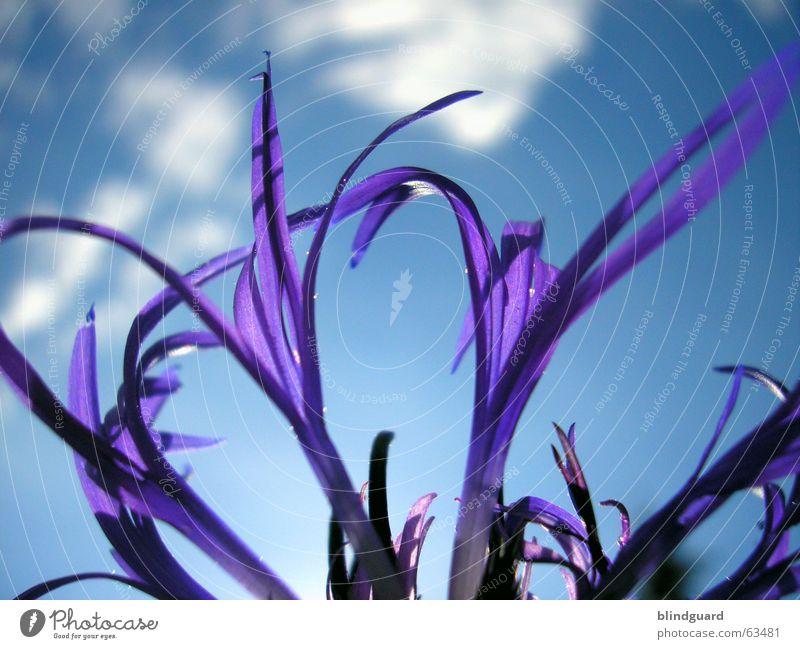Dem Himmel entgegen Wolken Pflanze violett Blüte Sommer ästhetisch Wiesenflockenblume Korbblütengewächs Zierpflanze Makroaufnahme Nahaufnahme Schatten Anmut