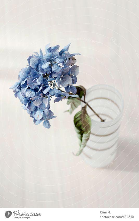 Hortensie Blume Blatt Blüte Hortensienblüte Vase dehydrieren blau Einsamkeit Erschöpfung Vergänglichkeit Stillleben Farbfoto Innenaufnahme Menschenleer