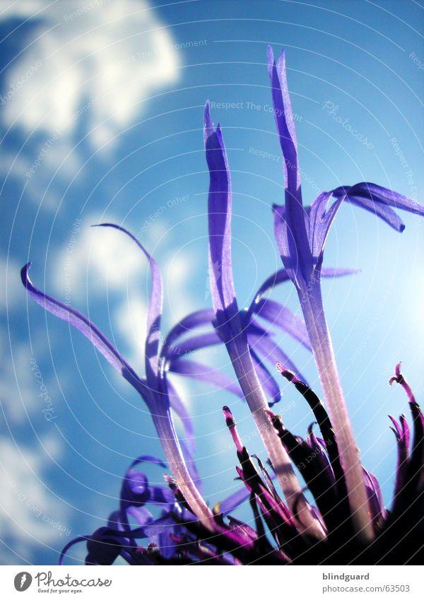 Flocken-Flower-Power schön Himmel Pflanze Sommer Wolken Blüte ästhetisch violett Anmut Korbblütengewächs Zierpflanze Wiesenflockenblume
