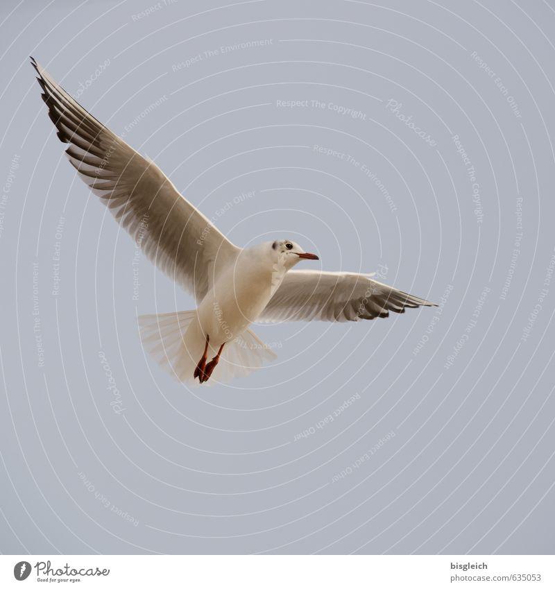 Breit aus die Flügel beide Himmel blau weiß Tier grau Freiheit Vogel fliegen Ostsee Möwe aufwärts Überblick