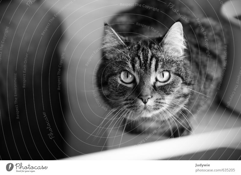 Stubentigerin Zufriedenheit Erholung Häusliches Leben Wohnung Möbel Tisch Tier Haustier Katze Tiergesicht Blumentopf Fensterbrett beobachten Blick ruhig Neugier