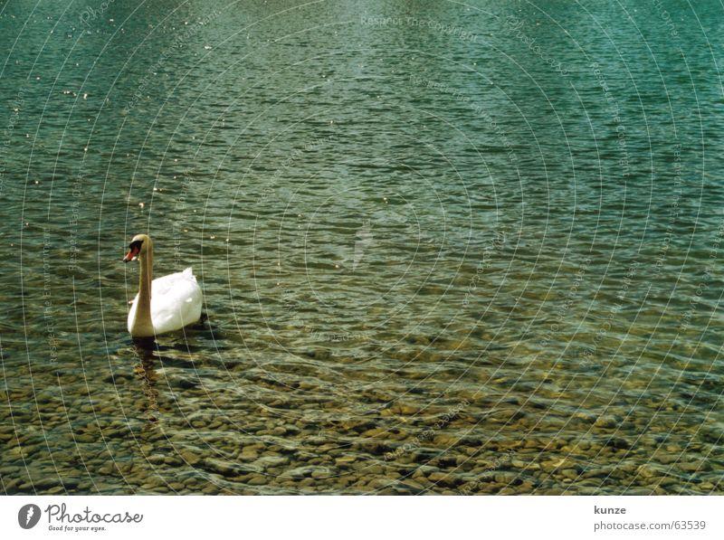 Taube! See nass kalt hart weiß grün Schwan Vogel Schnabel Tier füttern Kies analog gurr gurr Wasser blau Stein hell Ente Durst Feder britscheln neue messe