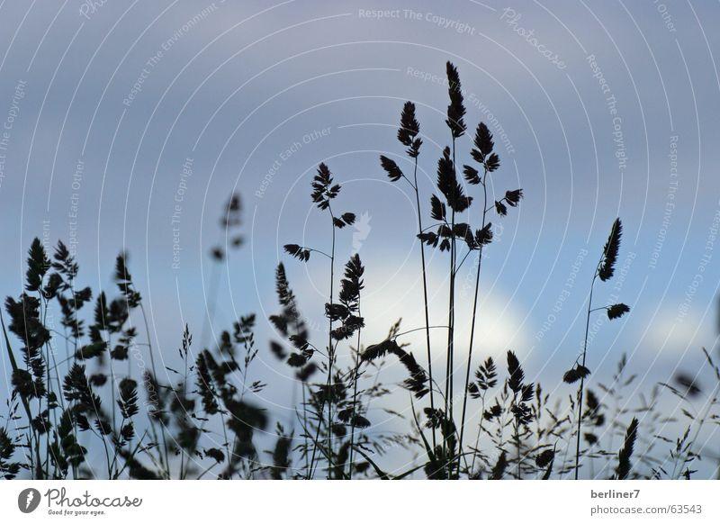 Sommerwiese im Gegenlicht Himmel Wolken Wiese Gras Halm