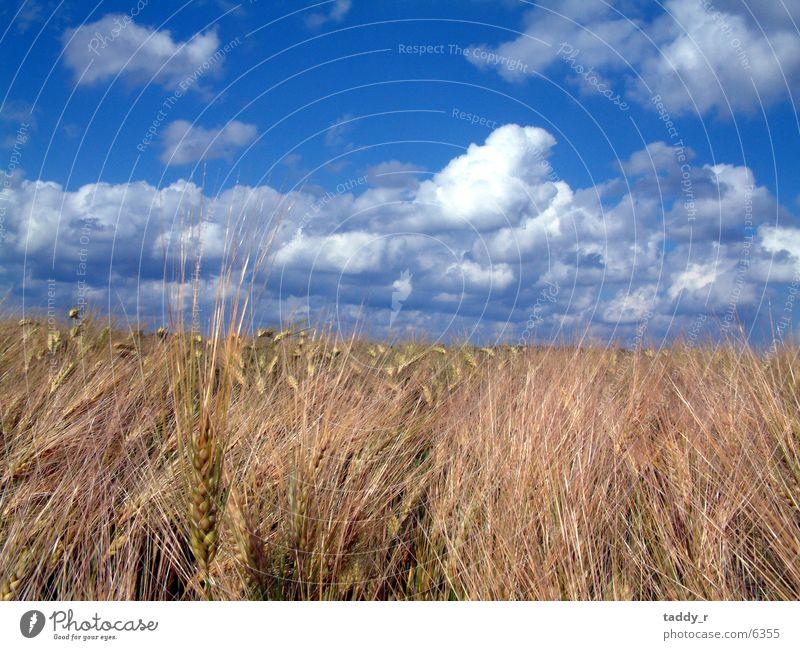 Kornfeld Himmel blau Wolken Getreide