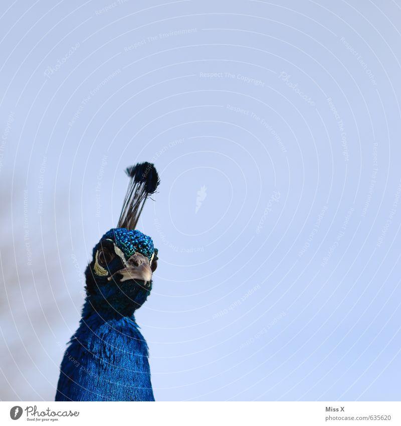Küss die Hand lieber Pfau, deine Federn sind so blau... Tier Vogel Gefühle Stolz eitel Pfauenfeder Schnabel Neugier Federschmuck Farbfoto mehrfarbig