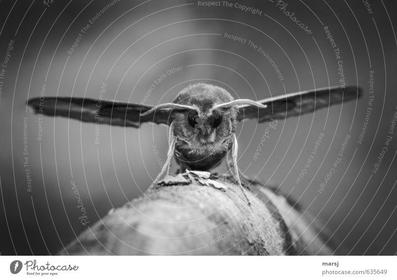 Einzelgänger | grosser Brummer Tier Wildtier Schmetterling Tiergesicht Flügel Insekt Weinschwärmer 1 beobachten Erholung außergewöhnlich bedrohlich dunkel