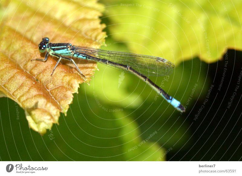 Libelle in der Mittagssonne Insekt Blatt grün hellgrün Flügel fliegen Makroaufnahme makroversuch...