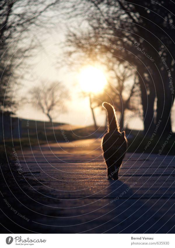 Tigerende im Gegenlicht Haare & Frisuren Sonne Tier Wärme Baum Wege & Pfade Katze blau orange schwarz weiß Sonnenuntergang Ast Umrisslinie Landleben Beine