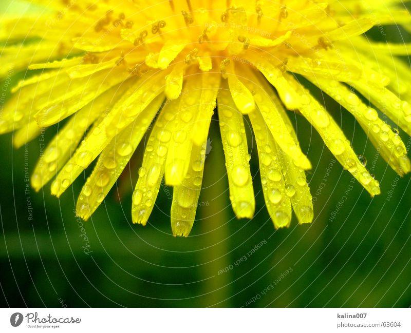 die kleine Halb-Sonne Natur Blume gelb