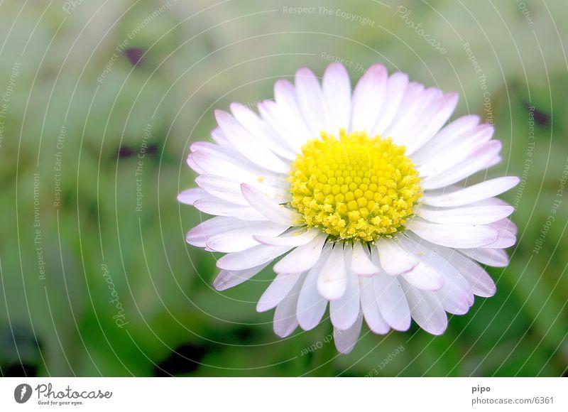 Gänseblümchen Frühling Nahaufnahme