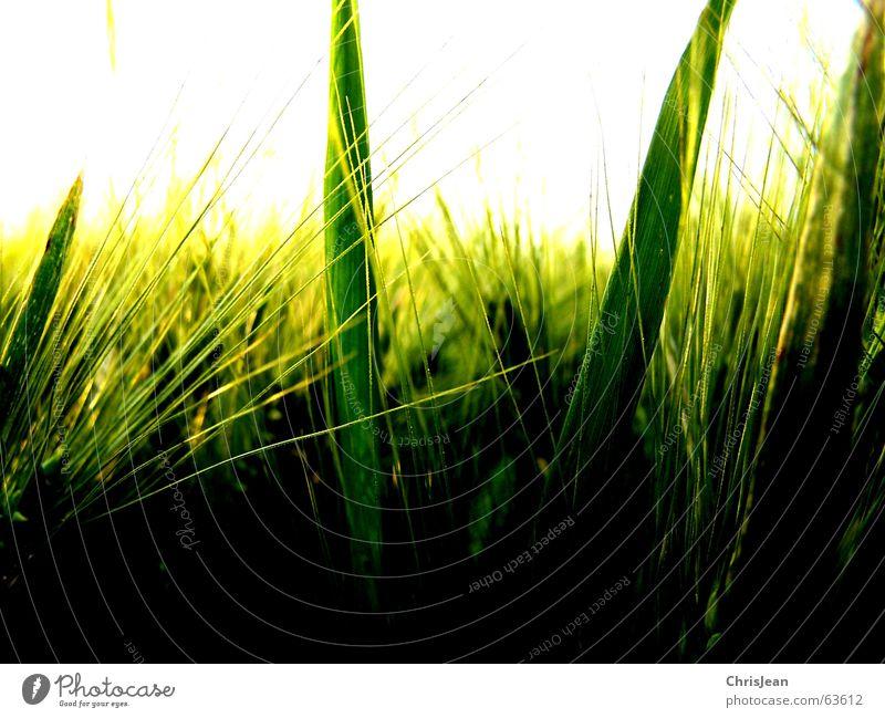 Gerste Natur schön Himmel weiß grün ruhig gelb Erholung Arbeit & Erwerbstätigkeit Feld glänzend Hintergrundbild Wachstum Amerika Halm