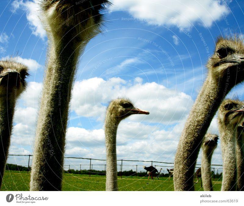 Versammlung Himmel Wolken Tier Vogel mehrere beobachten Mitte Strauß