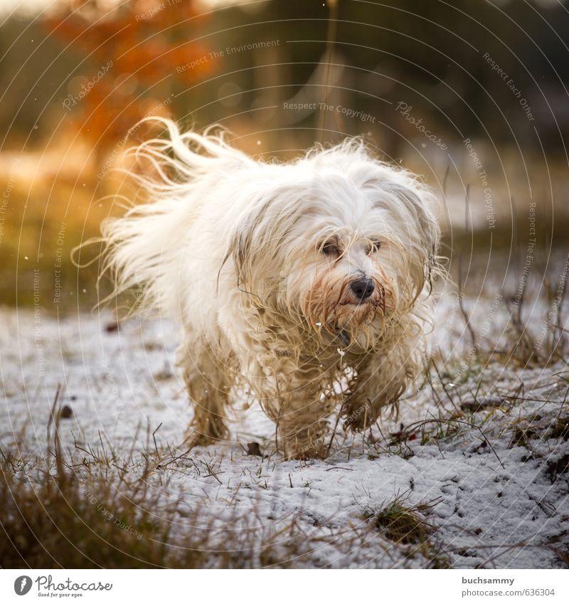 Hund im Focus Freude Schnee Natur Gras langhaarig Haustier 1 Tier gehen klein Geschwindigkeit Wärme orange weiß Gefühle Bewegung Lebensfreude Perspektive