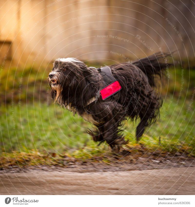 Tibet - Terrier beim Rennen Natur Sonnenlicht Gras Mauer Wand schwarzhaarig langhaarig Tier Haustier Hund 1 laufen rennen toben sportlich Glück schön