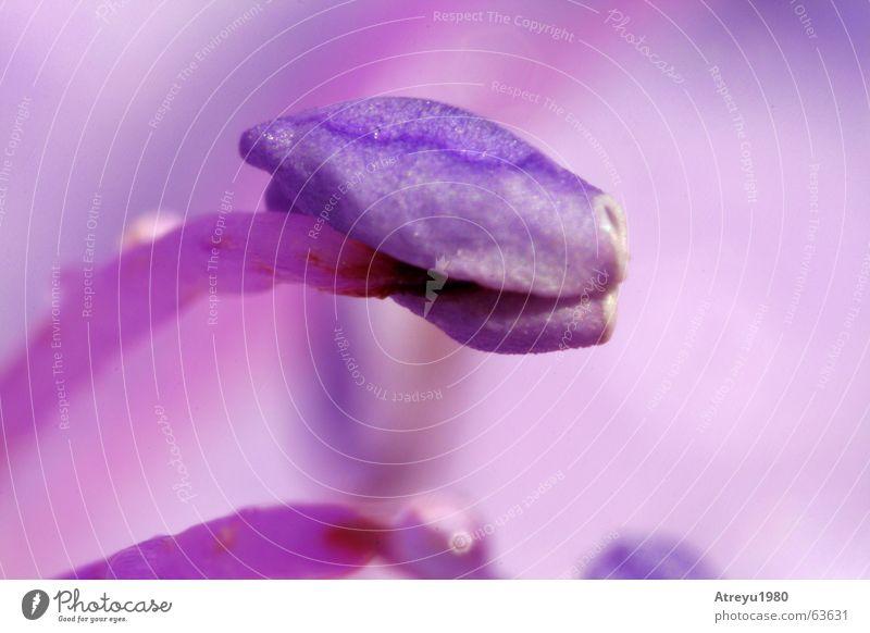 Violett Blume rot Blüte rosa violett Stempel magenta purpur