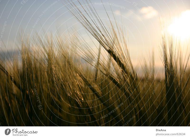 Zeit zum Reifen (1) Natur Himmel Wärme Kornfeld Ähren Gerste Abendsonne