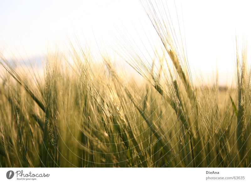 Zeit zum Reifen (2) Natur Himmel Wärme Kornfeld Ähren Gerste Abendsonne