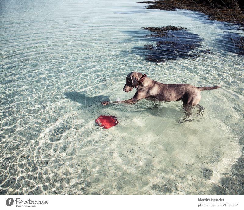 Meine Scheibe ist schon wieder weg..... Sommer Meer Wasser Schönes Wetter Tier Hund 1 Schwimmen & Baden Fitness Freundlichkeit Fröhlichkeit frisch lustig