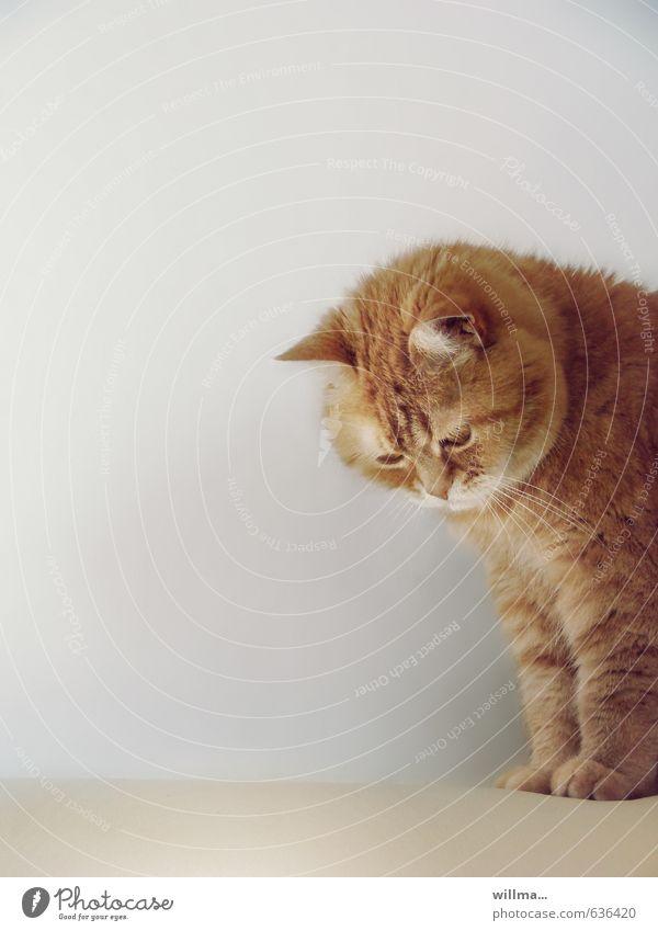 Hauskatze mit rotem Fell Haustier Katze Tier beobachten Blick sitzen niedlich weich Tierliebe bernsteinfarben Farbfoto Innenaufnahme Menschenleer