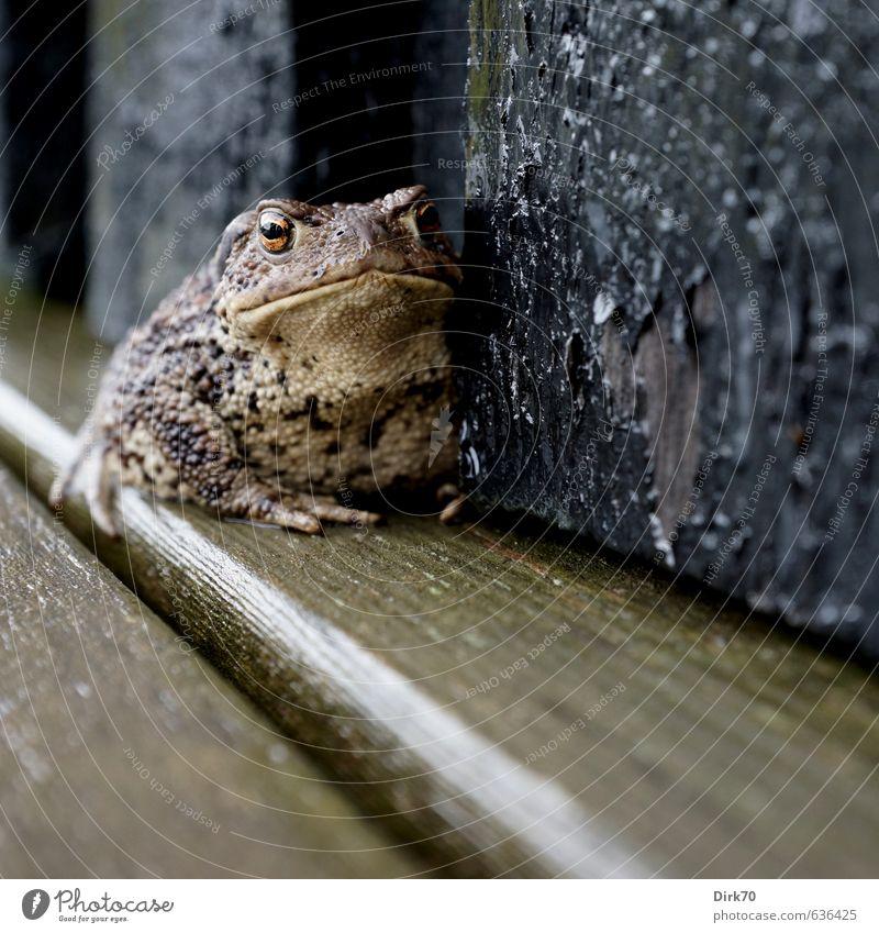 Tüchtig 'was zu schlucken ... nackt Tier schwarz Wand Mauer grau braun Regen Wildtier gold sitzen nass Regenwasser Holzbrett dick Terrasse