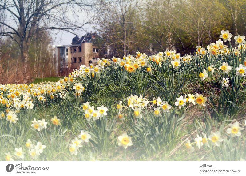 wildes frühlingsgeblümel Frühling Blume Narzissen Gelbe Narzisse Narzissenwiese Baum Frühlingsblume Park Wiese Duft Gift Stadtrand Farbfoto Außenaufnahme