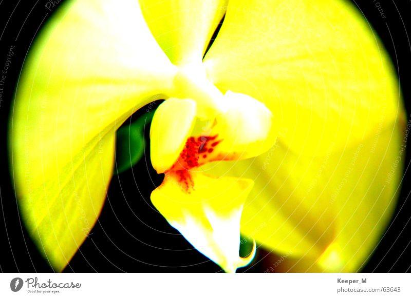 Blüte Blume gelb spiegelreflexskamera