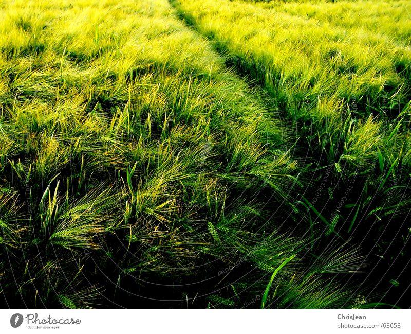 Querfeldein Natur grün gelb Erholung Arbeit & Erwerbstätigkeit Feld glänzend Hintergrundbild Wachstum Spuren Amerika Halm Korn fein Lichtspiel