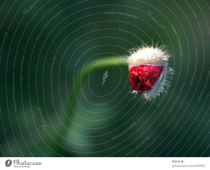 poppy-snake Natur Blume grün rot Einsamkeit Blüte Frühling offen zart Blühend Blumenstrauß Mohn Blütenknospen stachelig biegen