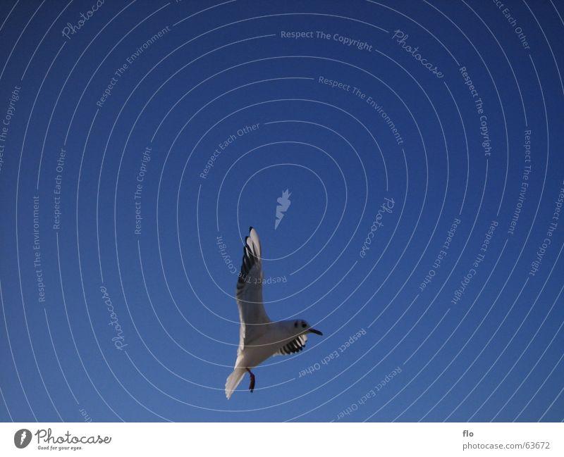 Im Anflug Himmel weiß blau Meer Auge Farbe grau See Vogel fliegen Beginn Feder Flügel Müll Sturz Schnabel