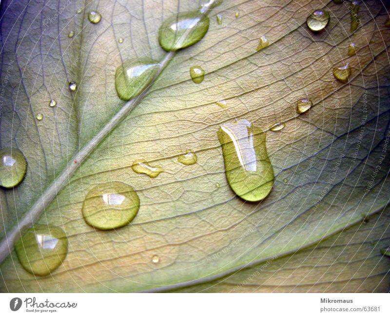 Tropfen oder Träne Herbst Sommer Blatt Pflanze Natur Grünpflanze Topfpflanze Gefäße Blattadern Wassertropfen Tränen nass Regen Trinkwasser Tau feucht grün blau