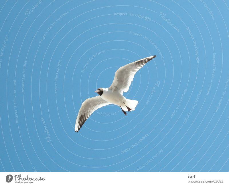 Flug Möwe Vogel Tier Sommer Strand Himmel blau Luftverkehr fliegen Flügel Wind Wetter