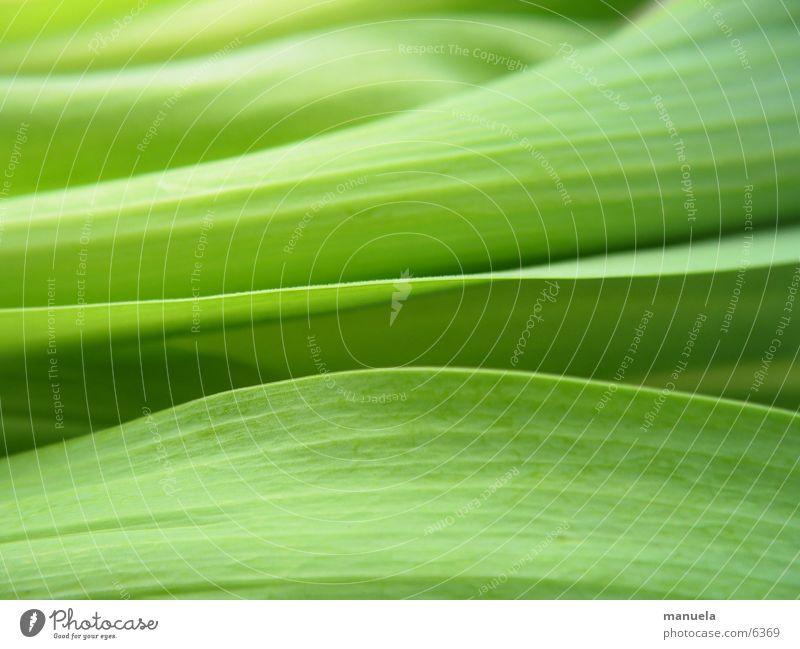 tulpenblätter Natur grün Pflanze ruhig Blatt Erholung Frühling Linie frisch nah Tulpe Linearität