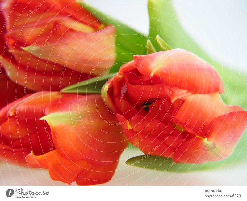 frühlingsblumen Pflanze Frühling Blume Tulpe Blüte Blatt rot grün frisch mehrfarbig Natur Detailaufnahme