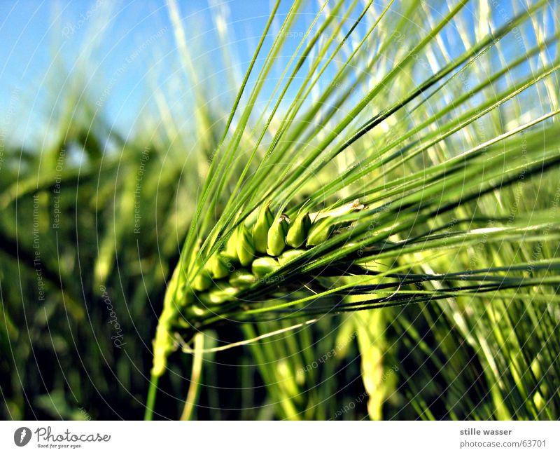 ICH WOLLT AUCH MAL grün Feld Samen Gerste