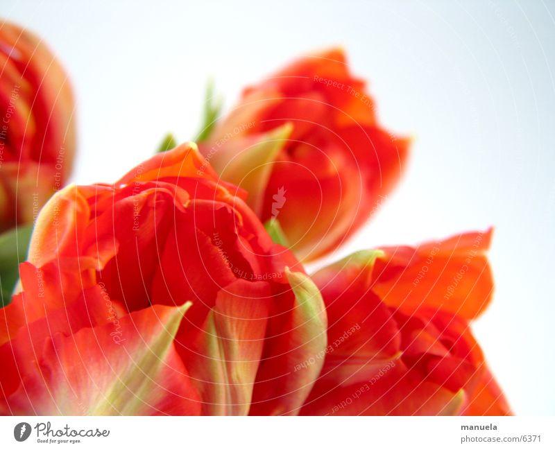 frühlingsblumen 2 Pflanze Frühling Blume Tulpe Blüte rot grün mehrfarbig Natur Detailaufnahme