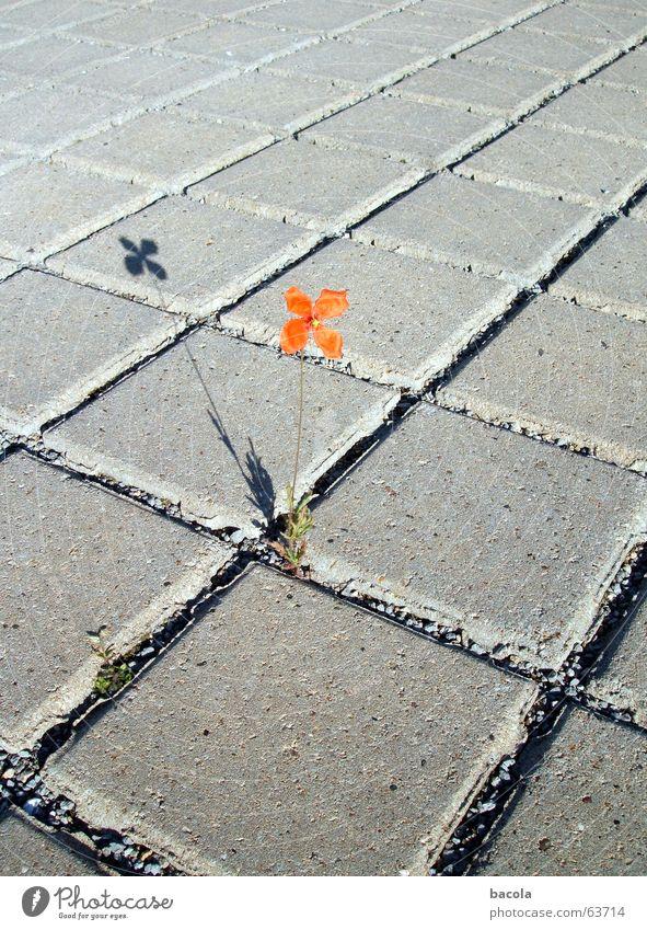 einsames Blümchen Blume rot Einsamkeit Stein Asphalt Parkplatz einzeln Fuge