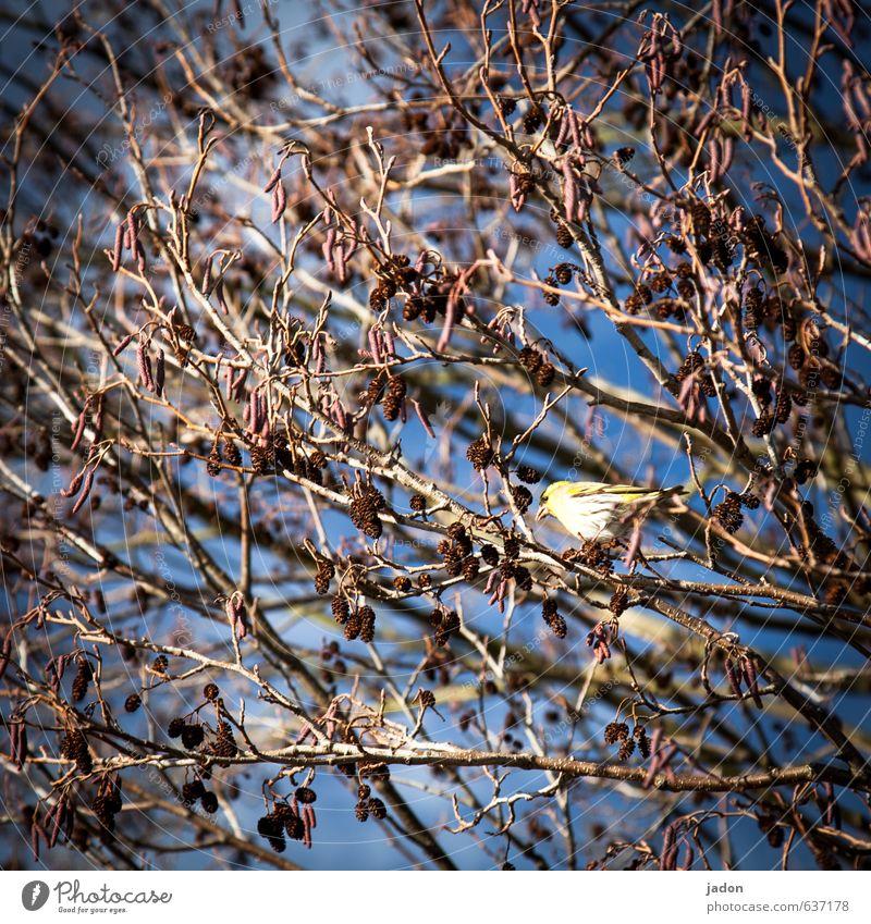 sing vogel. Tribüne Sänger Pflanze Himmel Frühling Baum Blatt Feld Tier Wildtier Vogel 1 sitzen blau Optimismus Tierliebe Inspiration singen Singvögel Farbfoto